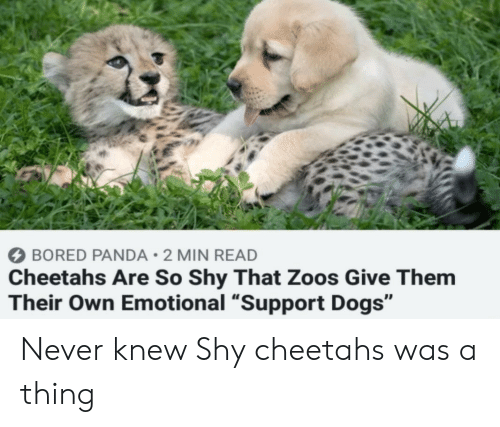 "Bored Panda: BORED PANDA 2 MIN READ  Cheetahs Are So Shy That Zoos Give Them  Their Own Emotional ""Support Dogs"" Never knew Shy cheetahs was a thing"