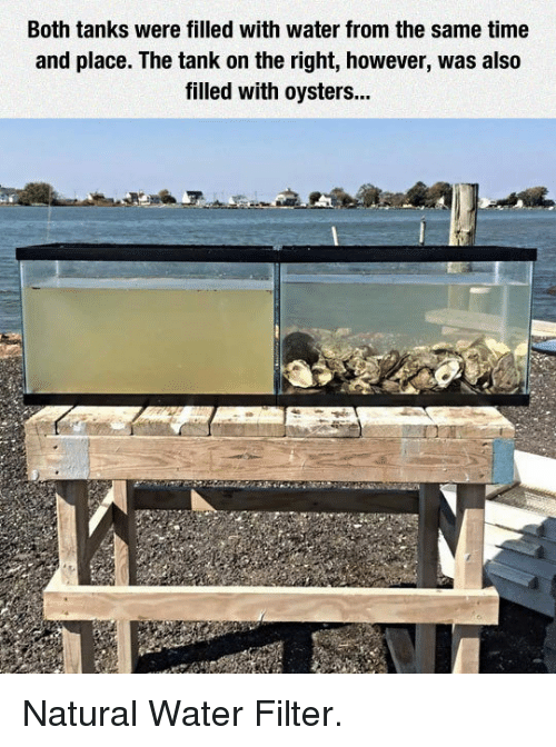 Water Filter: Both tanks were filled with water from the same time  and place. The tank on the right, however, was also  filled with oysters... <p>Natural Water Filter.</p>