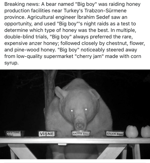 """Noticeably: Breaking news: A bear named """"Big boy"""" was raiding honey  production facilities near Turkey's Trabzon-Sürmene  province. Agricultural engineer ibrahim Sedef saw an  opportunity, and used """"Big boy""""'s night raids as a test to  determine which type of honey was the best. In multiple,  double-blind trials, """"Big boy"""" always preferred the rare,  expensive anzer honey; followed closely by chestnut, flower,  and pine-wood honey. """"Big boy"""" noticeably steered away  from low-quality supermarket """"cherry jam"""" made with corn  syrup.  KESTANE  BALI  VISNE  ciCEK BAL  ANZER BALI"""