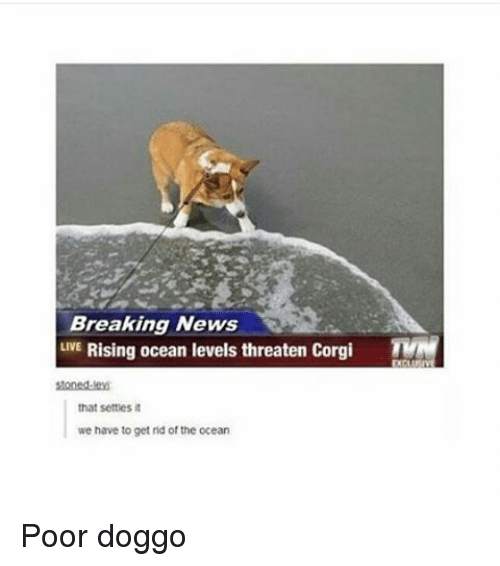 Corgi, Memes, and Breaking News: Breaking News  LIVE Rising ocean levels threaten Corgi  TVN  stoned-ed  that settles it  we have to get rid of the ocean Poor doggo
