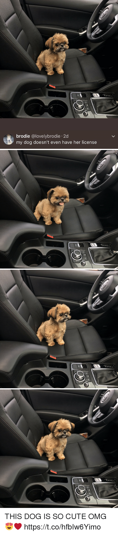 Cute, Omg, and Girl Memes: brodie  @lovely brodie 2d  my dog doesn't even have her license   MD   M-D THIS DOG IS SO CUTE OMG 😍❤️ https://t.co/hfbIw6Yimo