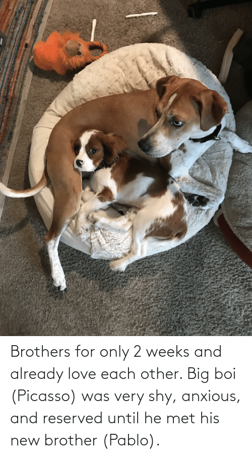 pablo: Brothers for only 2 weeks and already love each other. Big boi (Picasso) was very shy, anxious, and reserved until he met his new brother (Pablo).