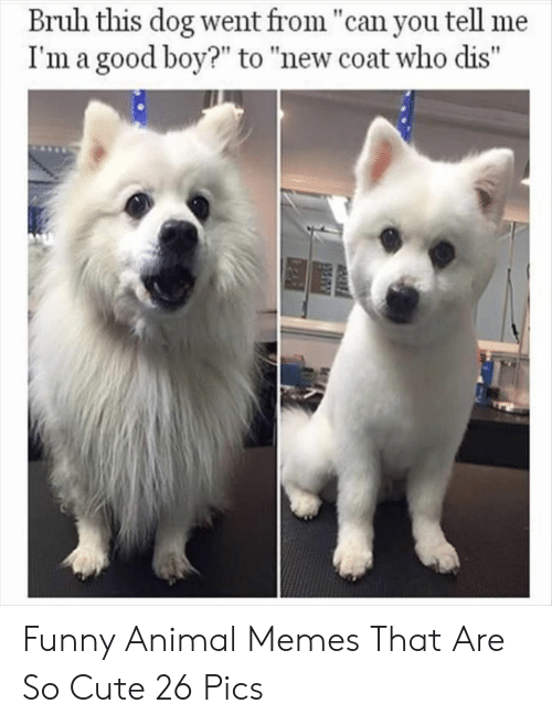"""funny animal memes: Bruh this dog went from """"can you tell me  I'm a good boy?"""" to """"new coat who dis"""" Funny Animal Memes That Are So Cute 26 Pics"""