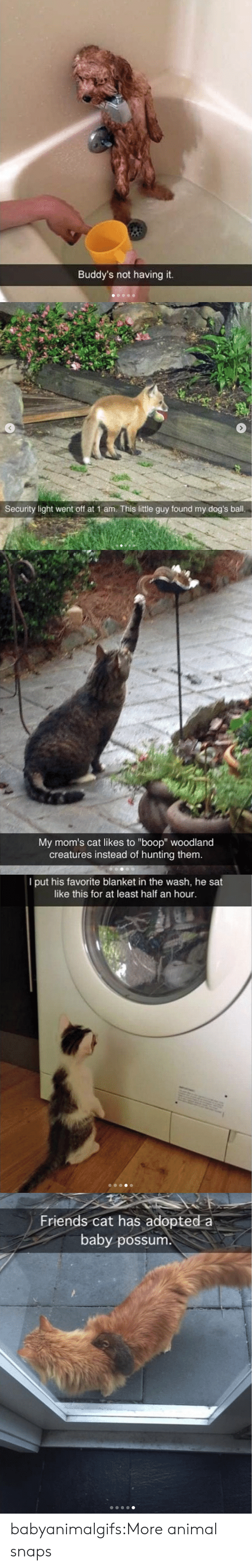 """buddys: Buddy's not having it.   Security light went off at 1 am. This little guy found my dog's ball.   My mom's cat likes to """"boop"""" woodland  creatures instead of hunting them.   I put his favorite blanket in the wash, he sat  like this for at least half an hour.   Friends cat has adopted a  baby possum babyanimalgifs:More animal snaps"""