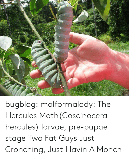 hercules: bugblog:  malformalady: The Hercules Moth(Coscinocera hercules) larvae, pre-pupae stage Two Fat Guys Just Cronching, Just Havin A Monch