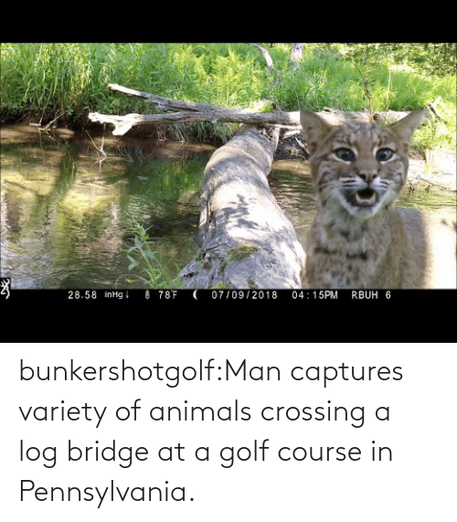log: bunkershotgolf:Man captures variety of animals crossing a log bridge at a golf course in Pennsylvania.