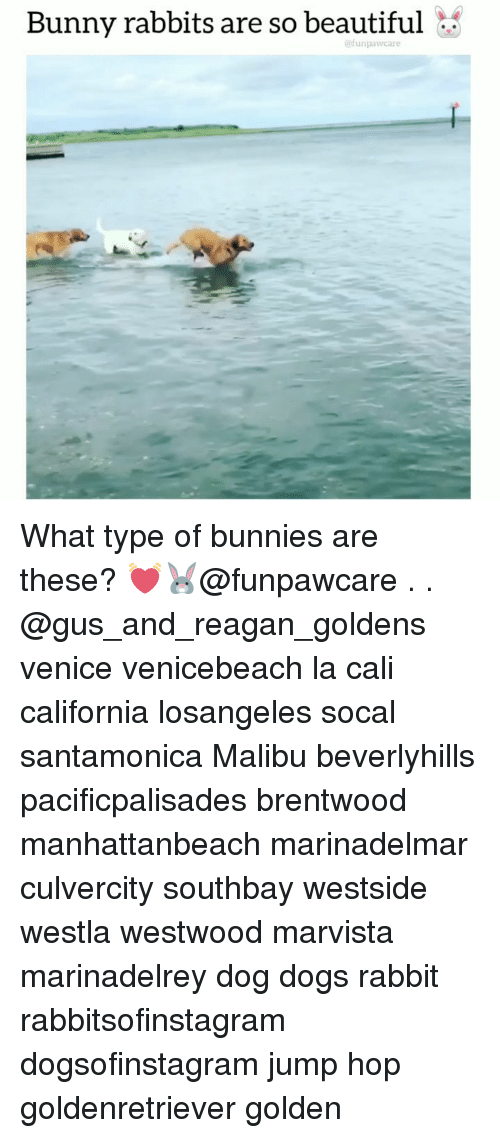 malibu: Bunny rabbits are so beautiful  @funpawcare What type of bunnies are these? 💓🐰@funpawcare . . @gus_and_reagan_goldens venice venicebeach la cali california losangeles socal santamonica Malibu beverlyhills pacificpalisades brentwood manhattanbeach marinadelmar culvercity southbay westside westla westwood marvista marinadelrey dog dogs rabbit rabbitsofinstagram dogsofinstagram jump hop goldenretriever golden