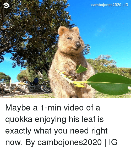 Dank, Video, and 🤖: cambojones2020   IG Maybe a 1-min video of a quokka enjoying his leaf is exactly what you need right now.  By cambojones2020   IG
