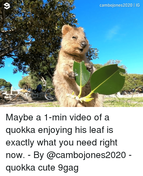 9gag, Cute, and Memes: cambojones2020   IG Maybe a 1-min video of a quokka enjoying his leaf is exactly what you need right now. - By @cambojones2020 - quokka cute 9gag