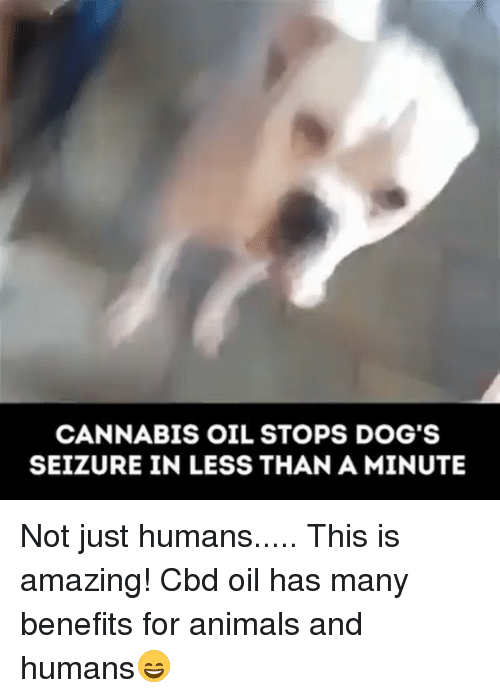 Animals, Dogs, and Memes: CANNABIS OIL STOPS DOG'S  SEIZURE IN LESS THAN A MINUTE Not just humans..... This is amazing! Cbd oil has many benefits for animals and humans😄