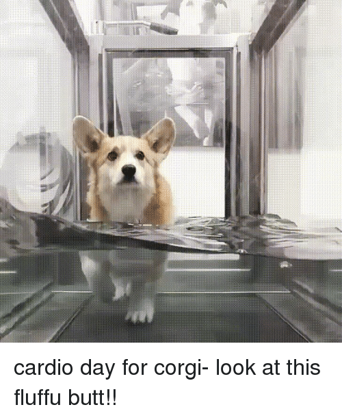 Butt, Corgi, and Funny: cardio day for corgi- look at this fluffu butt!!