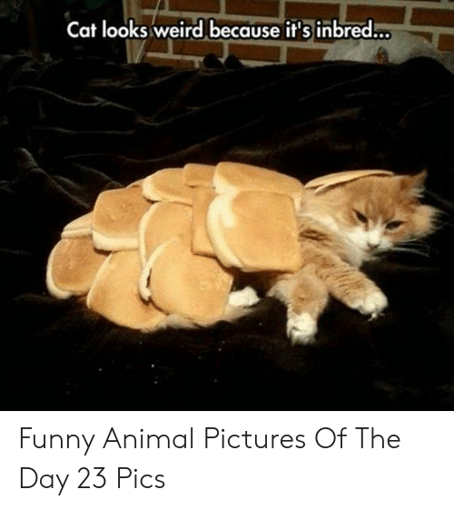 Funny, Weird, and Animal: Cat looks weird because it's inbred... Funny Animal Pictures Of The Day 23 Pics