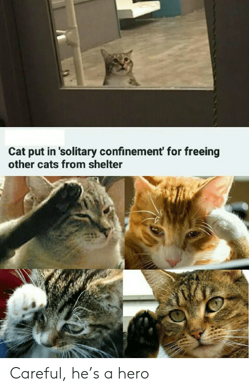 Cats, Hero, and Cat: Cat put in 'solitary confinement' for freeing  other cats from shelter Careful, he's a hero