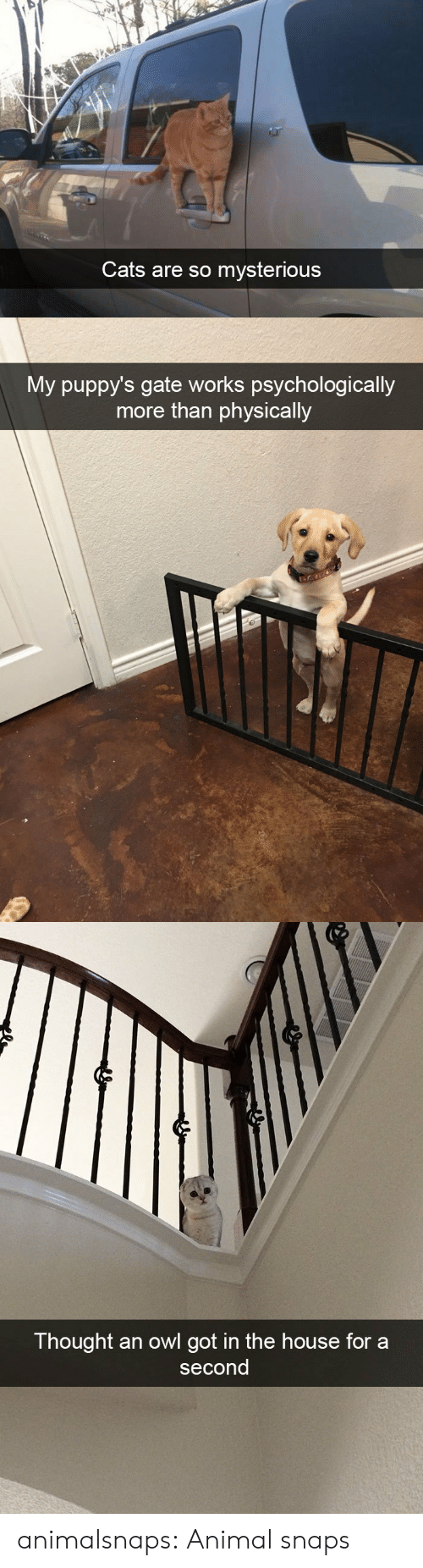 Cats, Tumblr, and Animal: Cats are so mysterious   My puppy's gate works psychologically  more than physically   Thought an owl got in the house for a  second animalsnaps:  Animal snaps