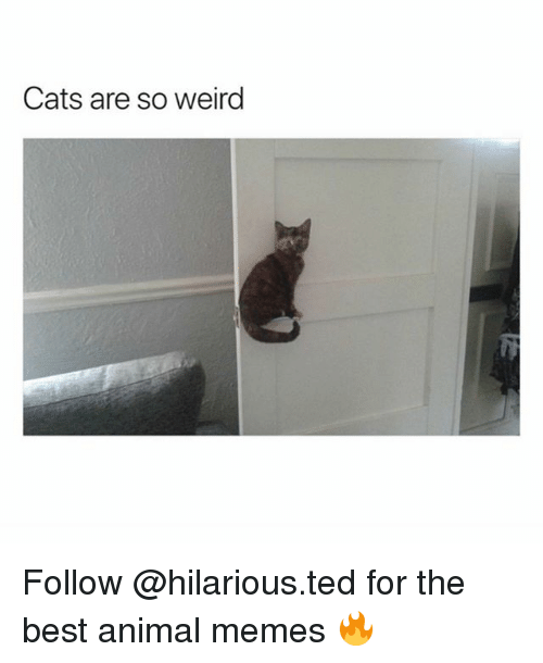 Cats, Memes, and Ted: Cats are so weirg Follow @hilarious.ted for the best animal memes 🔥