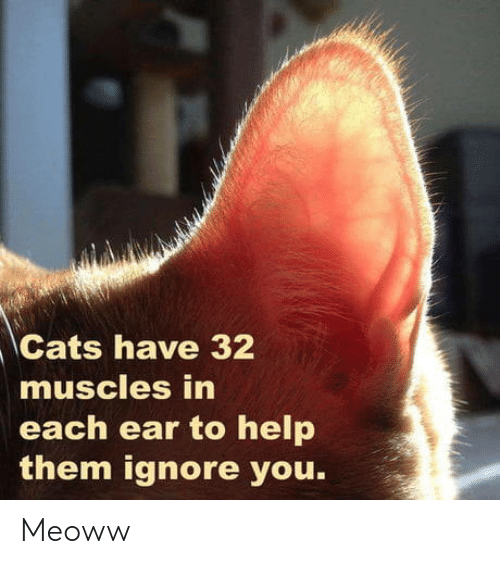 Each: Cats have 32  muscles in  each ear to help  them ignore you. Meoww