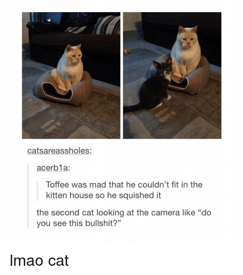 """Lmao Cats: catsareassholes:  acer bla.  Toffee was mad that he couldn't fit in the  kitten house so he squished it  the second cat looking at the camera like """"do  you see this bullshit?"""" lmao cat"""