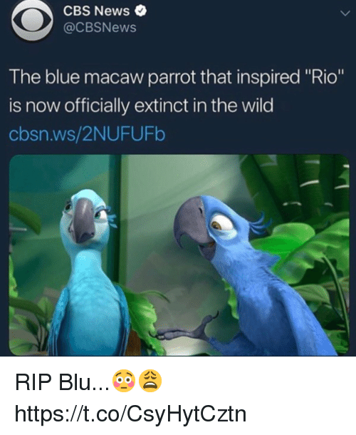 """News, Cbs, and Blue: CBS News  @CBSNews  The blue macaw parrot that inspired """"Rio""""  is now officially extinct in the wild  cbsn.ws/2NUFUFb RIP Blu...😳😩 https://t.co/CsyHytCztn"""