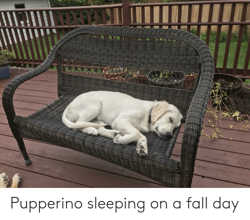 Fall, Sleeping, and Day: CELRECEERCLE Pupperino sleeping on a fall day