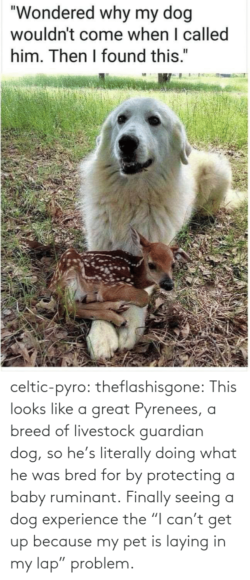 "Celtic, Target, and Tumblr: celtic-pyro:  theflashisgone: This looks like a great Pyrenees, a breed of livestock guardian dog, so he's literally doing what he was bred for by protecting a baby ruminant. Finally seeing a dog experience the ""I can't get up because my pet is laying in my lap"" problem."