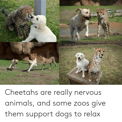 zoos: Cheetahs are really nervous animals, and some zoos give them support dogs to relax