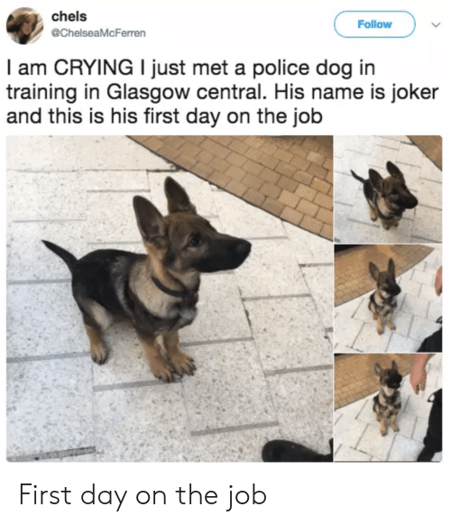 first day on the job: chels  @ChelseaMcFerren  Follow  l am CRYING I just met a police dog in  training in Glasgow central. His name is joker  and this is his first day on the job First day on the job