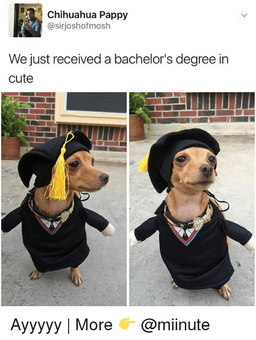 Moshed: Chihuahua Pappy  @sir joshof mosh  We just received a bachelor's degree in  cute Ayyyyy | More 👉 @miinute