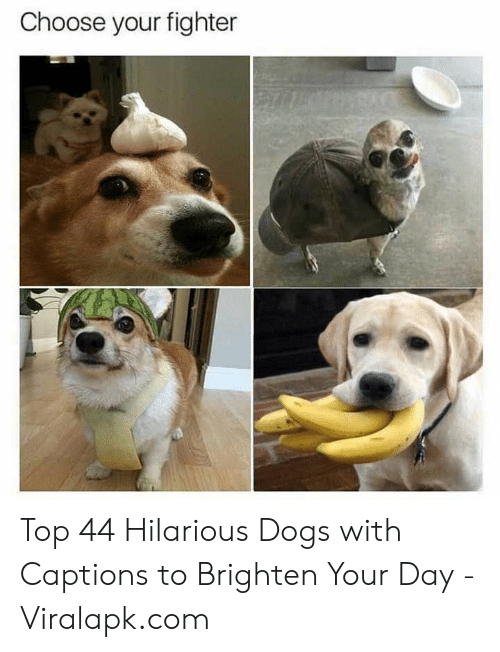 Dogs, Hilarious, and Com: Choose your fighter Top 44 Hilarious Dogs with Captions to Brighten Your Day - Viralapk.com