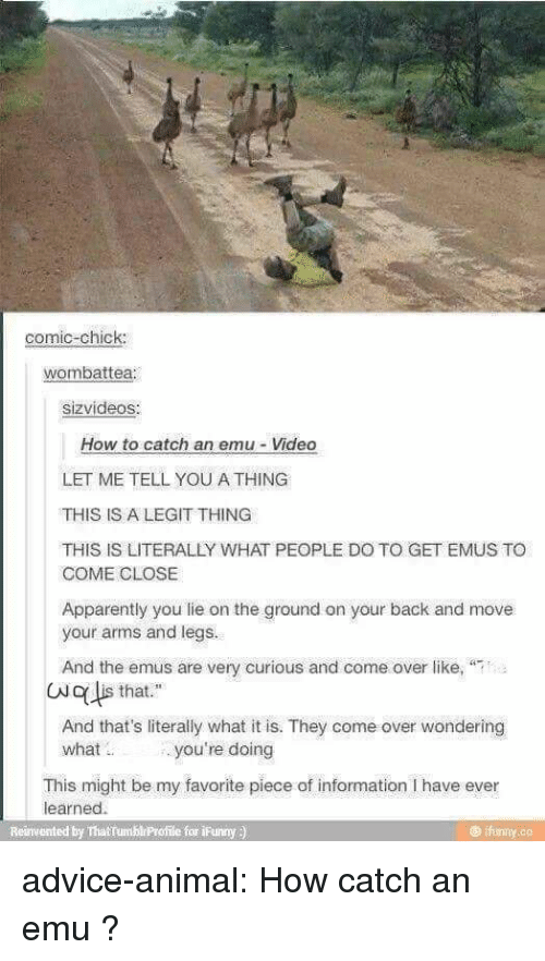 """emu: comic-chick  wombattea  sizvideos:  How to catch an emu-Video  LET ME TELL YOU A THING  THIS IS A LEGIT THING  THIS IS LITERALLY WHAT PEOPLE DO TO GET EMUS TO  COME CLOSE  Apparently you lie on the ground on your back and move  your arms and legs.  And the emus are very curious and come over like,  (No lis that.""""  And that's literally what it is. They come over wondering  what  you're doing  This might be my favorite piece of information I have ever  learned.  Reinvented by ThatTumblrProfile for ¡Funny )  @ifunny.co advice-animal:  How catch an emu ?"""