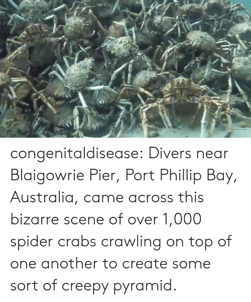 Creepy, Spider, and Tumblr: congenitaldisease:  Divers near Blaigowrie Pier, Port Phillip Bay, Australia, came across this bizarre scene of over 1,000 spider crabs crawling on top of one another to create some sort of creepy pyramid.