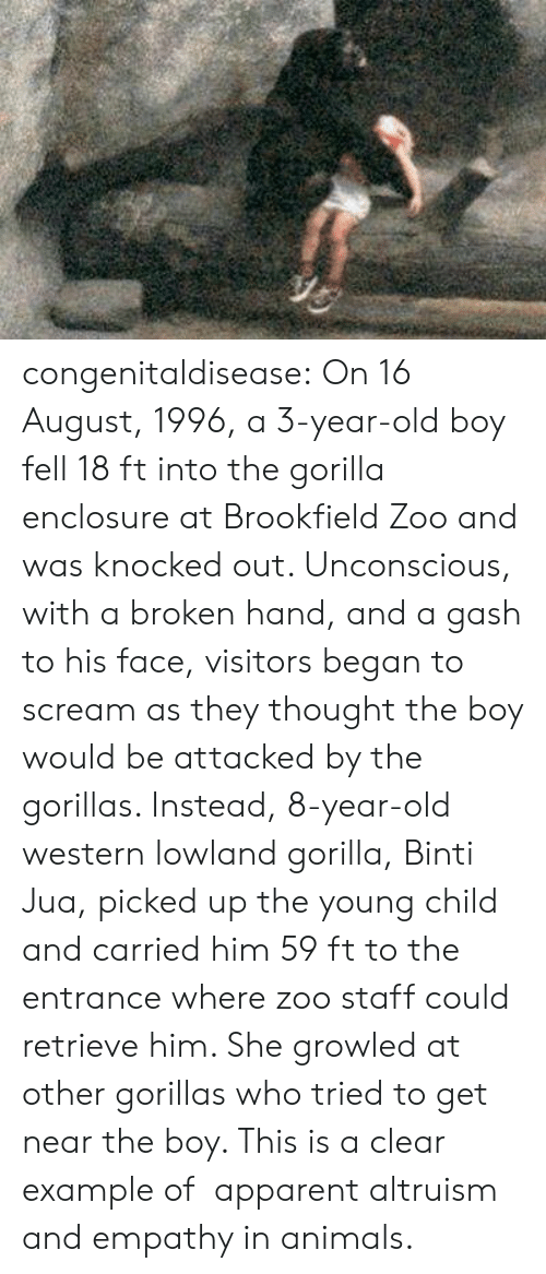 zoo: congenitaldisease: On 16 August, 1996, a 3-year-old boy fell 18 ft into the gorilla enclosure at Brookfield Zoo and was knocked out. Unconscious, with a broken hand, and a gash to his face, visitors began to scream as they thought the boy would be attacked by the gorillas. Instead, 8-year-old western lowland gorilla, Binti Jua, picked up the young child and carried him 59 ft to the entrance where zoo staff could retrieve him. She growled at other gorillas who tried to get near the boy. This is a clear example of   apparent altruism and empathy in animals.