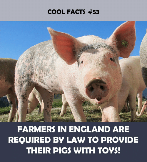 England: COOL FACTS #53  FARMERS IN ENGLAND ARE  REQUIRED BY LAW TO PROVIDE  THEIR PIGS WITH TOYS!