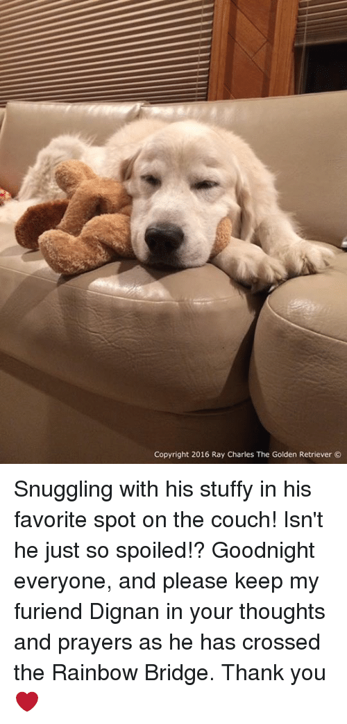 Stuffie: Copyright 2016 Ray Charles The Golden Retriever Snuggling with his stuffy in his favorite spot on the couch! Isn't he just so spoiled!? Goodnight everyone, and please keep my furiend Dignan in your thoughts and prayers as he has crossed the Rainbow Bridge. Thank you❤️