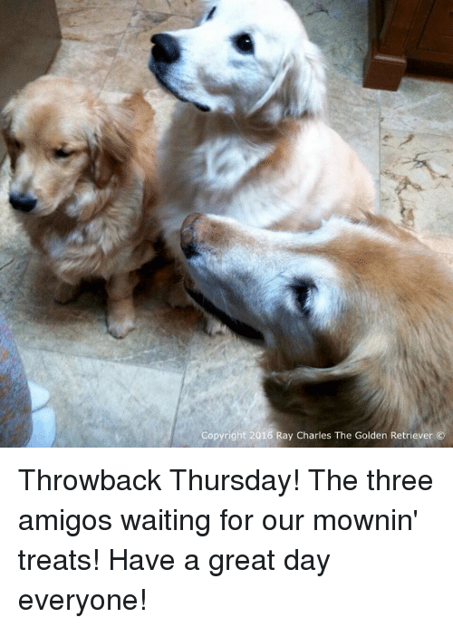three amigos: Copyright 2016 Ray Charles The Golden Retriever Throwback Thursday! The three amigos waiting for our mownin' treats! Have a great day everyone!