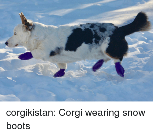 Corgi, Tumblr, and Blog: corgikistan:  Corgi wearing snow boots