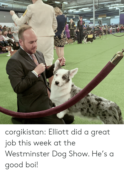 Tumblr, Blog, and Good: corgikistan:  Elliott did a great job this week at the Westminster Dog Show. He's a good boi!