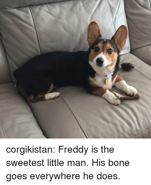 Tumblr, Blog, and Com: corgikistan:  Freddy is the sweetest little man. His bone goes everywhere he does.