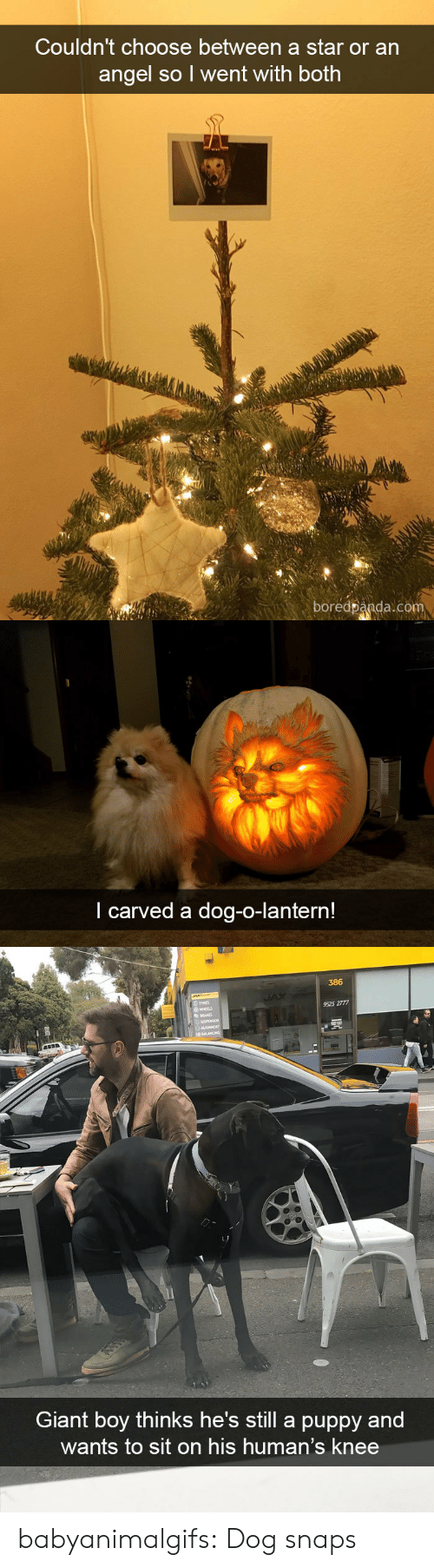 lantern: Couldn't choose between a star or an  angel so l went with both  boredpanda.com   I carved a dog-o-lantern!   386  TYRES  9525 2777  HEELS  Giant boy thinks he's still a puppy and  wants to sit on his human's knee babyanimalgifs:  Dog snaps