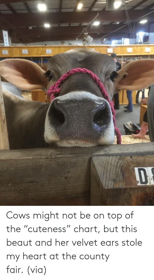 "fair: Cows might not be on top of the ""cuteness"" chart, but this beaut and her velvet ears stole my heart at the county fair. (via)"