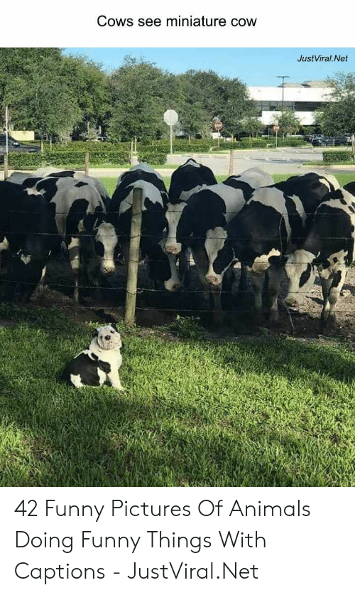 Animals, Funny, and Pictures: Cows see miniature cow  JustViral.Net 42 Funny Pictures Of Animals Doing Funny Things With Captions - JustViral.Net