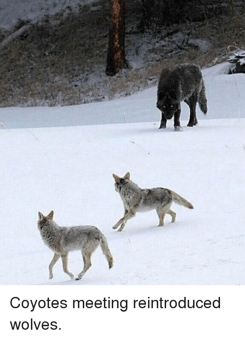 Wolves,  Meeting, and Coyotes: Coyotes meeting reintroduced wolves.