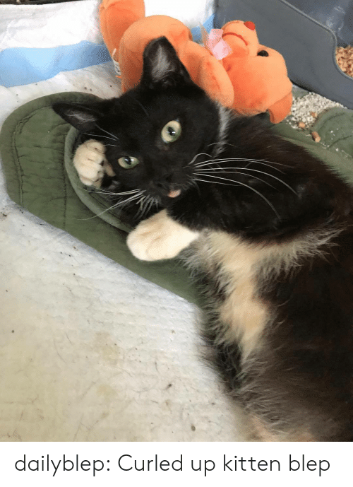 Tumblr, Blog, and Http: dailyblep:  Curled up kitten blep
