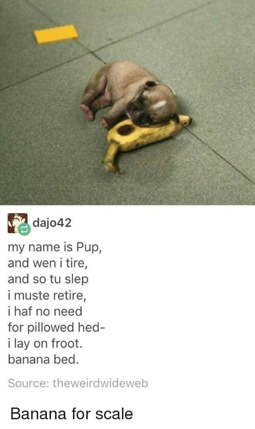 For Scale: dajo42  my name is Pup,  and wen i tire,  and so tu slep  i muste retire,  i haf no need  for pillowed hed  i lay on froot.  banana bed.  Source: theweirdwideweb <p>Banana for scale</p>