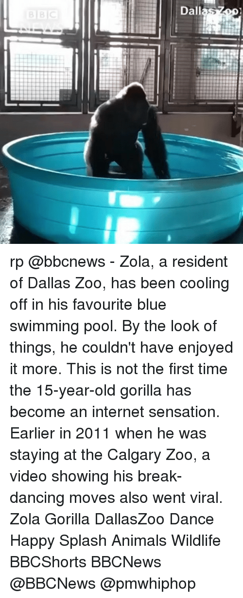 splashing: Dallas rp @bbcnews - Zola, a resident of Dallas Zoo, has been cooling off in his favourite blue swimming pool. By the look of things, he couldn't have enjoyed it more. This is not the first time the 15-year-old gorilla has become an internet sensation. Earlier in 2011 when he was staying at the Calgary Zoo, a video showing his break-dancing moves also went viral. Zola Gorilla DallasZoo Dance Happy Splash Animals Wildlife BBCShorts BBCNews @BBCNews @pmwhiphop