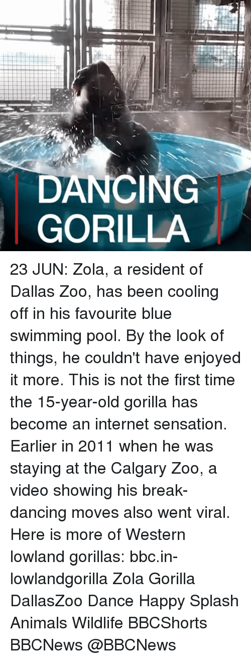 splashing: DANCING  GORILLA 23 JUN: Zola, a resident of Dallas Zoo, has been cooling off in his favourite blue swimming pool. By the look of things, he couldn't have enjoyed it more. This is not the first time the 15-year-old gorilla has become an internet sensation. Earlier in 2011 when he was staying at the Calgary Zoo, a video showing his break-dancing moves also went viral. Here is more of Western lowland gorillas: bbc.in-lowlandgorilla Zola Gorilla DallasZoo Dance Happy Splash Animals Wildlife BBCShorts BBCNews @BBCNews