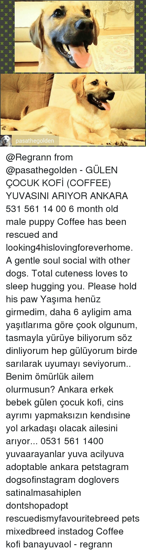 Memes, Amas, and 🤖: Dasathegolden  xxxxxxxxx  XXXXXXX  XXXXXXXX  xxxxxxxxx  XXXXXXXX @Regrann from @pasathegolden - GÜLEN ÇOCUK KOFİ (COFFEE) YUVASINI ARIYOR ANKARA 531 561 14 00 6 month old male puppy Coffee has been rescued and looking4hislovingforeverhome. A gentle soul social with other dogs. Total cuteness loves to sleep hugging you. Please hold his paw Yaşıma henüz girmedim, daha 6 ayligim ama yaşıtlarıma göre çook olgunum, tasmayla yürüye biliyorum söz dinliyorum hep gülüyorum birde sarılarak uyumayı seviyorum.. Benim ömürlük ailem olurmusun? Ankara erkek bebek gülen çocuk kofi, cins ayrımı yapmaksızın kendısine yol arkadaşı olacak ailesini arıyor... 0531 561 1400 yuvaarayanlar yuva acilyuva adoptable ankara petstagram dogsofinstagram doglovers satinalmasahiplen dontshopadopt rescuedismyfavouritebreed pets mixedbreed instadog Coffee kofi banayuvaol - regrann
