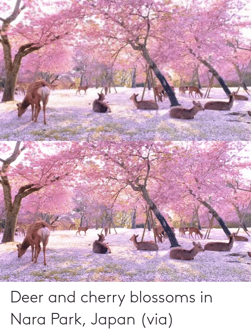 Deer: Deer and cherry blossoms in Nara Park, Japan (via)