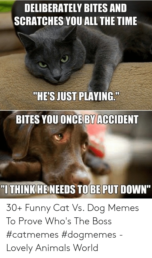 """funny cat: DELIBERATELY BITES AND  SCRATCHES YOU ALL THE TIME  """"HE'S JUST PLAYING.  BITES YOUONCE BY ACCIDENT  I THINK HENEEDS TOBE PUT DOWN"""" 30+ Funny Cat Vs. Dog Memes To Prove Who's The Boss #catmemes #dogmemes - Lovely Animals World"""