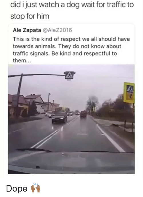 Animals, Dope, and Respect: did i just watch a dog wait for traffic to  stop for him  Ale Zapata @Alez2016  This is the kind of respect we all should have  towards animals. They do not know about  traffic signals. Be kind and respectful to  them.. Dope 🙌🏾