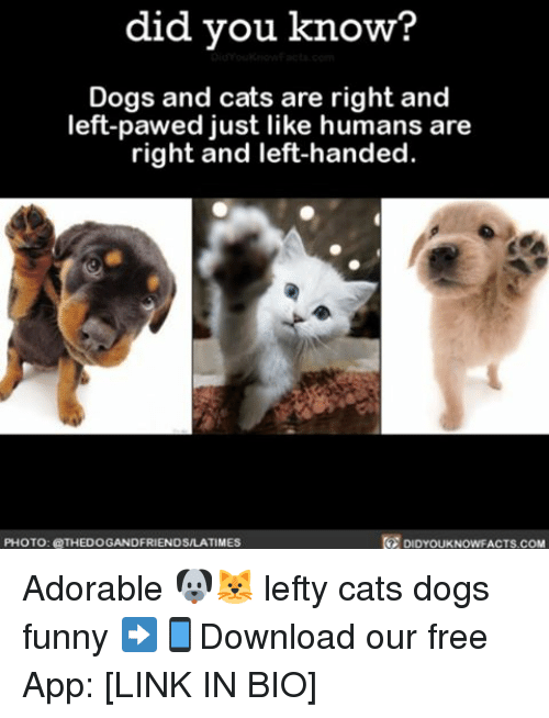 dog-and-cats: did you know  Dogs and cats are right and  left-pawed just like humans are  right and left-handed.  PHOTO: THEDOGANDFRIENDSALATIMEs  DIDYOUKNOWFACTS COM Adorable 🐶🐱 lefty cats dogs funny ➡📱Download our free App: [LINK IN BIO]